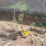Μάραθο  Καλλιεργείται για τα φύλλα του που είναι αρτυματικά, με φύλλα που σχηματίζουν λευκούς βολβούς, καλλιεργείται σε μερικές μεσογειακές χώρες.
