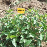 H μέντα (Mentha) είναι ποώδες αρωματικό φυτό της οικογένειας των χειλανθών των εύκρατων περιοχών. Έχει άνθη ευωδιαστά, λευκά ή ιώδη, που σχηματίζουν ταξιανθία στάχυος. Είναι φυτό φαρμακευτικό και χρησιμοποιείται στη μαγειρική ως καρύκευμα, καθώς και ως αφέψημα ή αιθέριο έλαιο.