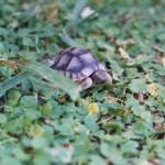 Φ_5 Χελώνα