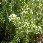 Origanum heracleoticum