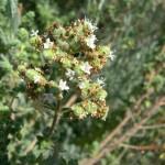 Origanum onites