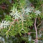 Juniperus oxycedrus sbsp. macrocarpa