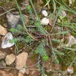 Euphorbia apios