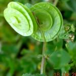 σκουλαρίκια, μάλλον απο M. orbicularis