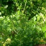 Αγριο σέλινο