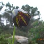 Fritillaria graeca
