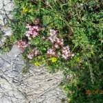 Sedum eriocarpum