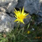 Scorzonera crocifolia