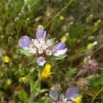 Lomelosia brachiata