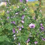 Lavatera arborea ή αλλιώς Malva arborea
