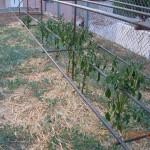 Τα πεσμένα φύλλα το μεσημέρι είναι αποτέλεσμα της άμυνας του φυτού.