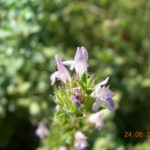 Satureja thymbra