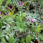 Onobrychis aequidentata
