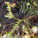 Onobrychis caput galii