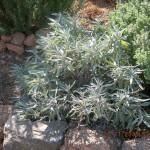 Ιερουσαλήμ? Salvia Officinalis