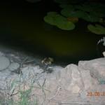 βάτραχος (τρρρρρρρ...)