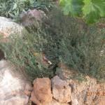 Θυμάρι (Thymus Officinalis)