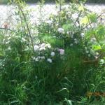 rosa arvensis (με μάραθο)