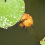 γυρίνοι τρώνε βερίκοκο