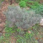 Θυμάρι το κεφαλωτόν (Thymus capitatus)