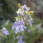 Το λουλούδι του