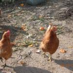 ανακύκλωση, κρέας και αυγά!