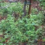 Vicia sativa (σπόρος από συνεταιρισμό)