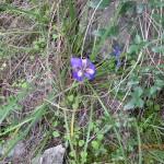 Iris unquigularis