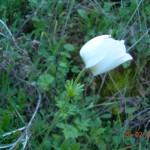 Anemone pavonina var.albina