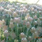 Trifolium fragiferum