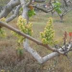 μπουμπούκι (θηλυκό)