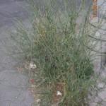 Ραδίκι (Cichorium intybus) στην άκρη του δρόμου (Ριζούπολη).