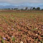 καλλιέργεια Crocus sativus στην Κοζάνη