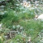 Πολυκόμπι σε ρέμα στα Λουτρά Στάχτης