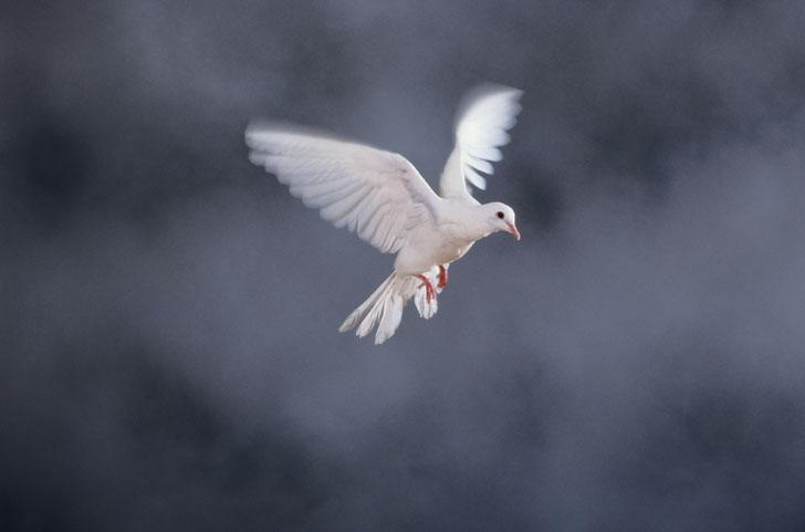 Περιστέρι, το σύμβολο της ειρήνης