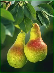 Εικόνα:Pears.jpg