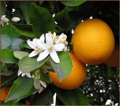 Εικόνα:OrangeBloss wb.jpg